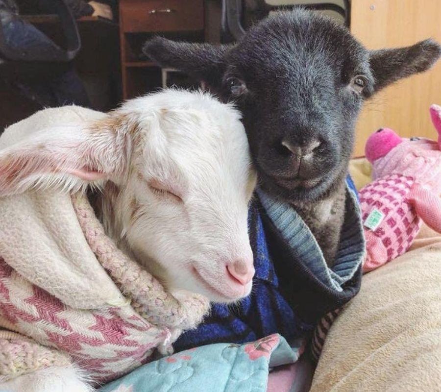 goats in bed cuddling