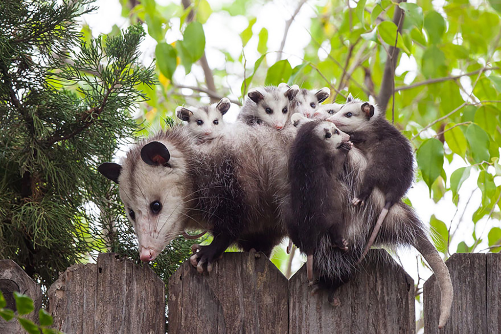 Opossum on gate with babies