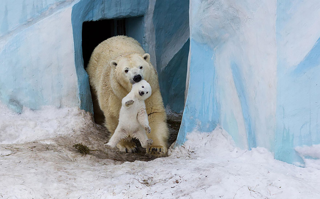 Polar bear with baby in its mouth