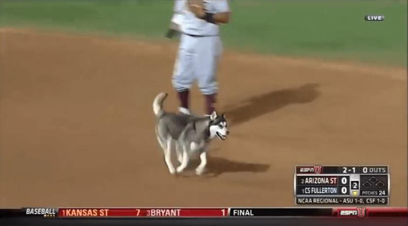 animals-interrupting-sporting-events-husky