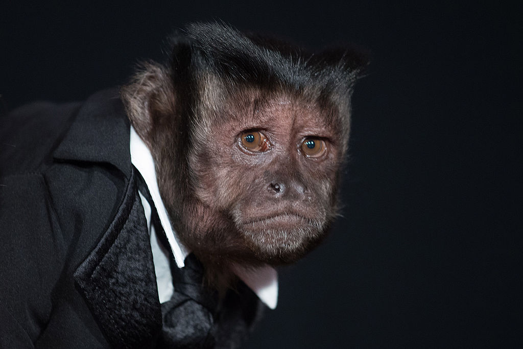 crystal the monkey at a movie premiere wearing a suit