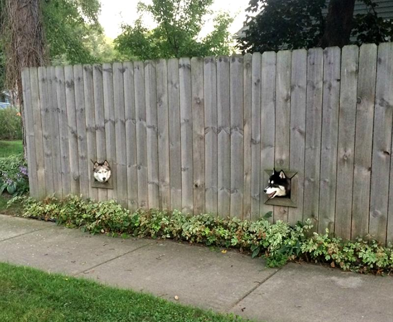 Two huskies peak their heads through constructed holes in a house's fence
