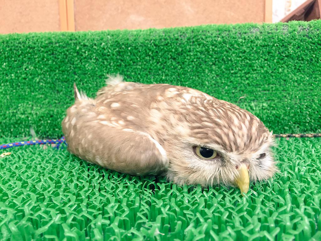 Owl lying flat on his stomach