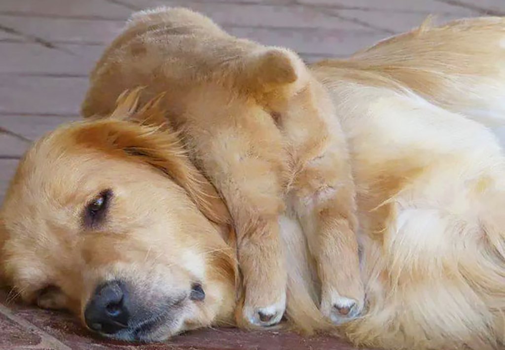 Puppy sleeping on parent's neck
