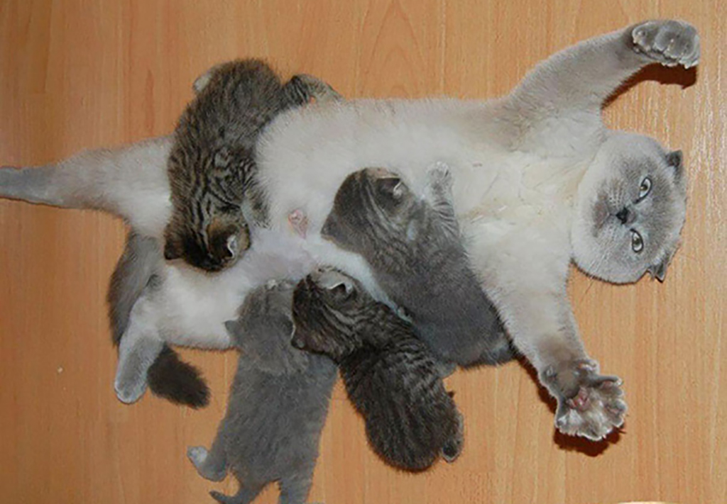 Mother cat laying on its back while kittens feed