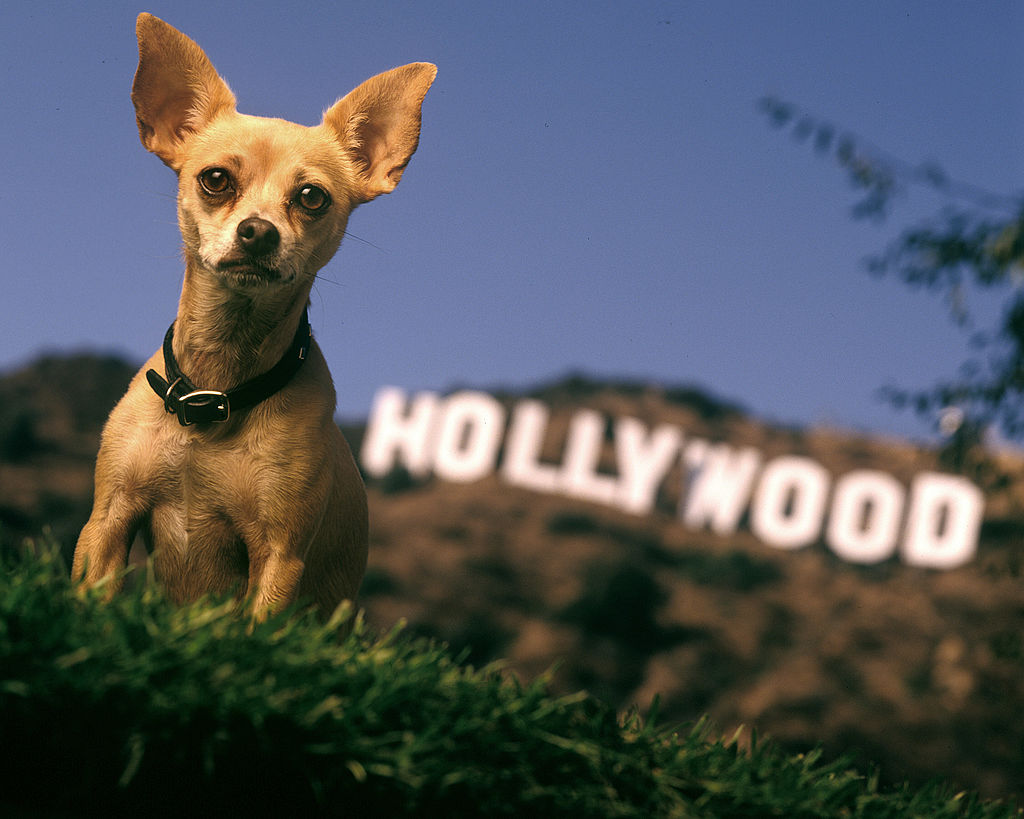 gidget the chihuahua in front of the hollywood sign