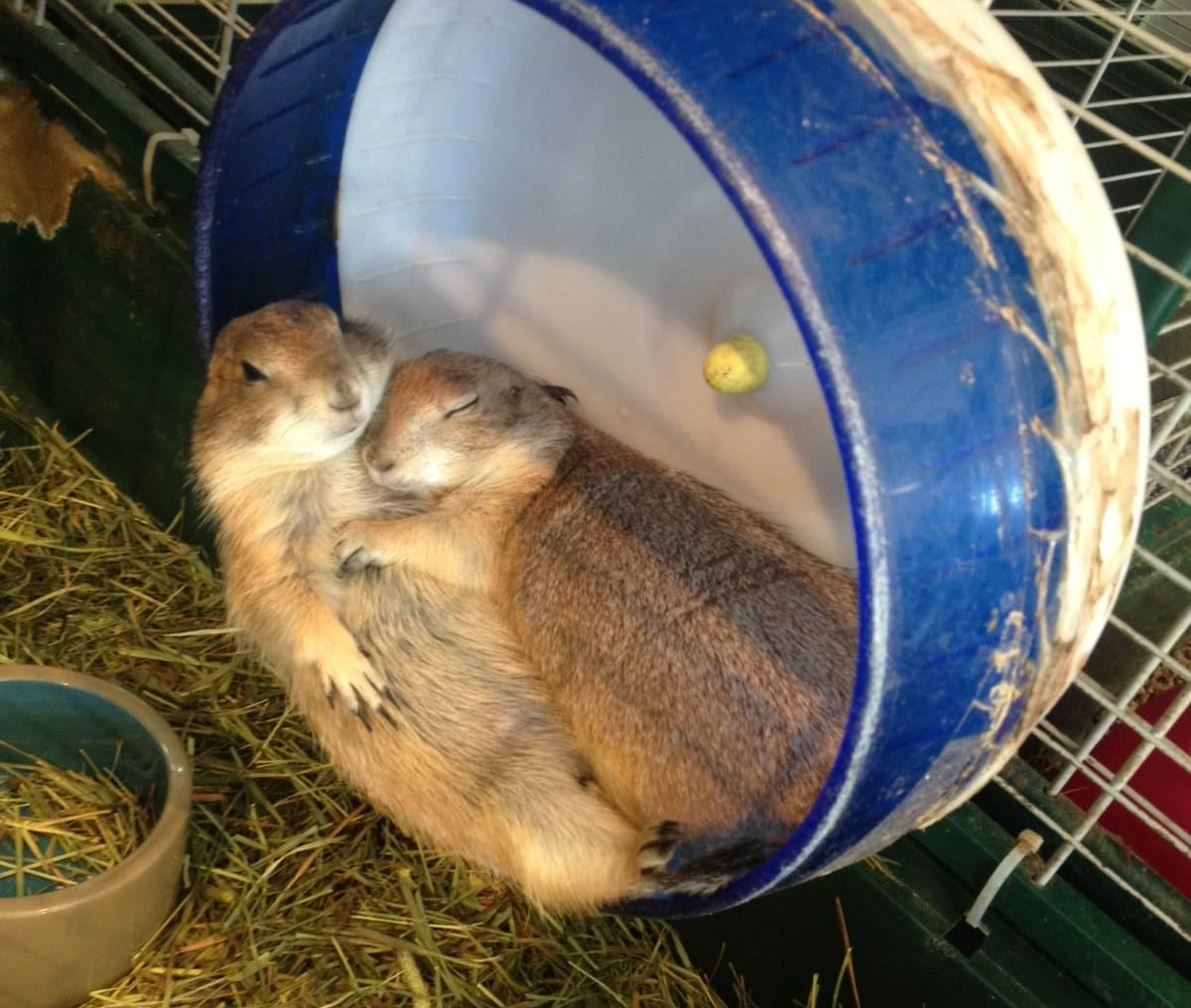 Two gophers sleep on a running wheel in their cage