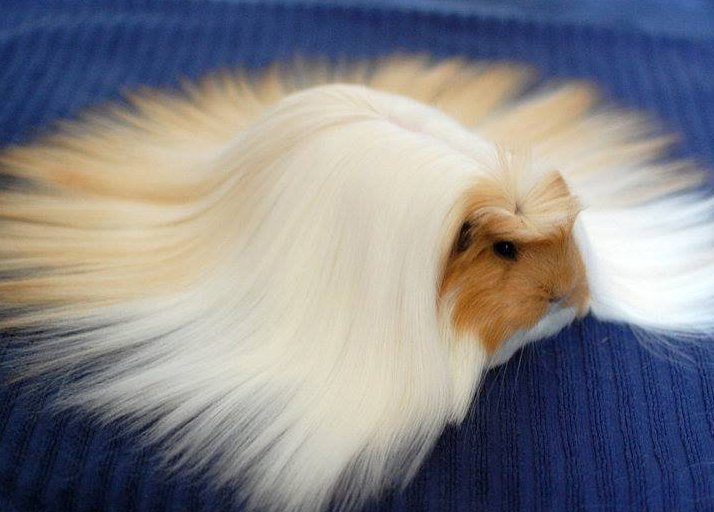 Guinea pig with extra long combed fur