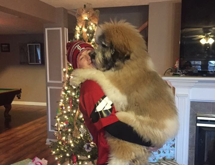 Owner holds a Saint Berdoodle during Christmas