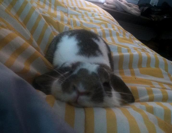 Bunny sleeps on a blanket