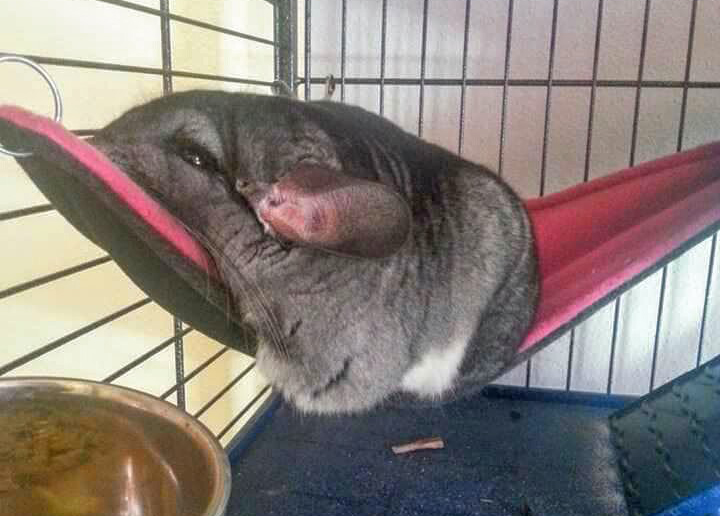 Chinchilla relaxes on his hammock