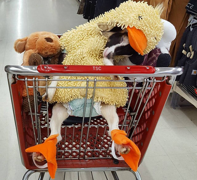 A goat eases to the side while riding a shopping cart in a chicken costume