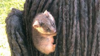 A baby possum clings to Sally Watkinson's puli dog, Kato