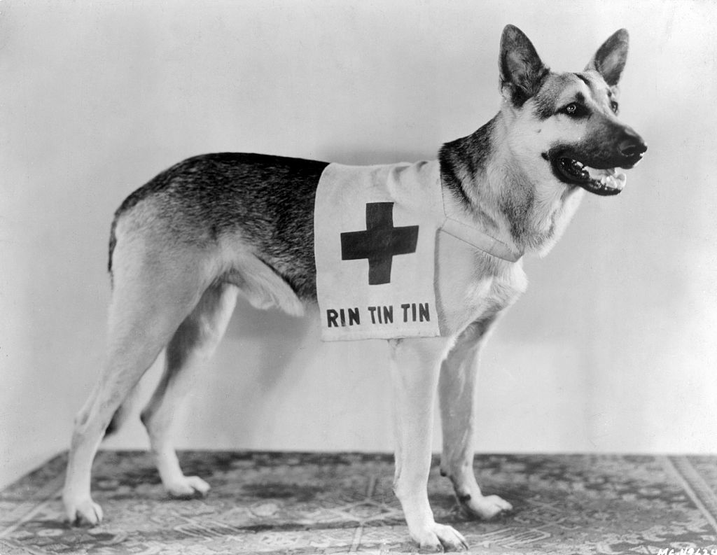 rin tin tin the dog wearing a red cross garment