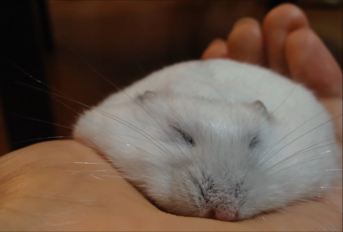 Hamster lies flat in owner's hand
