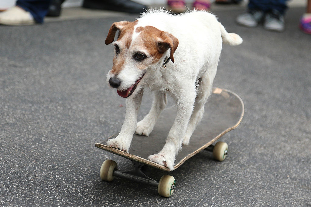 uggie the dog riding a skateboard