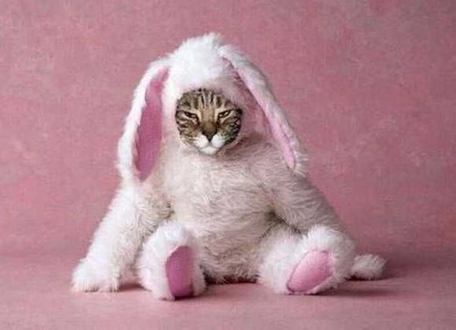 A-Cat-in-a-bunny-Halloween-costume-20344