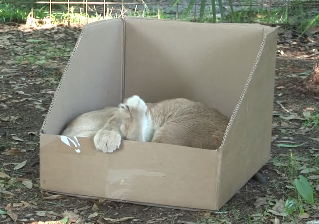 Caracal naps in a cardboard box.