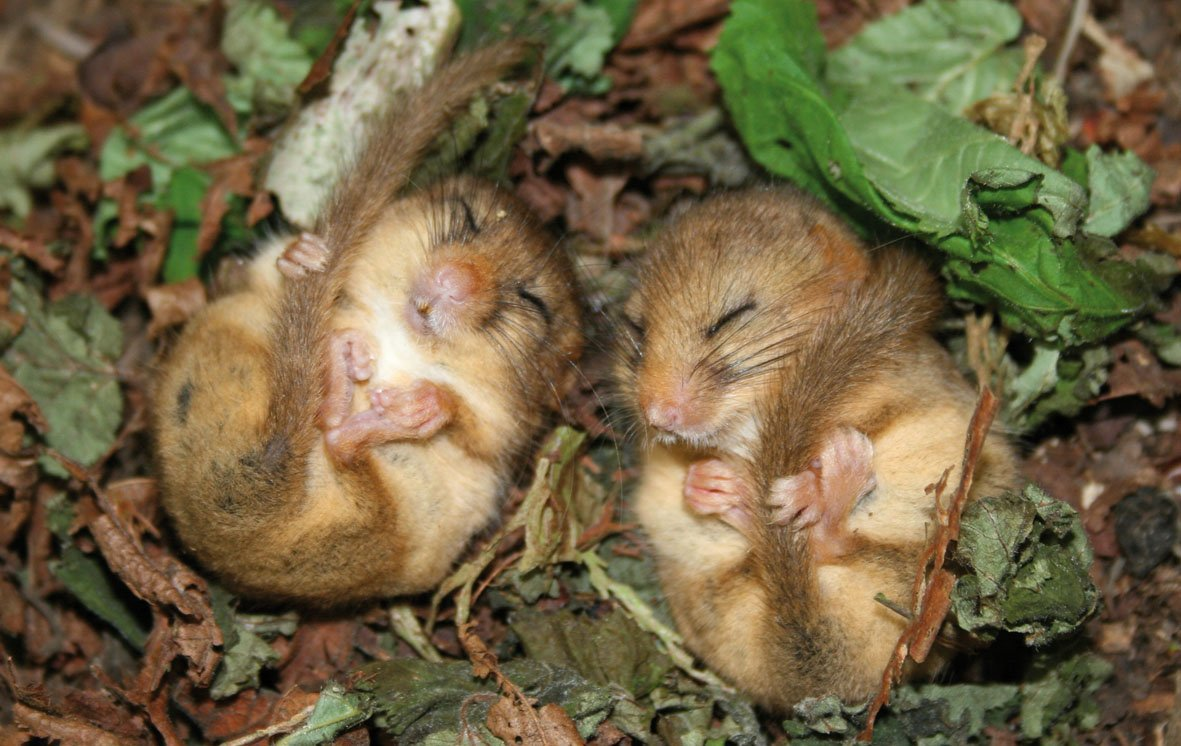 dormice are not so innocent creatures