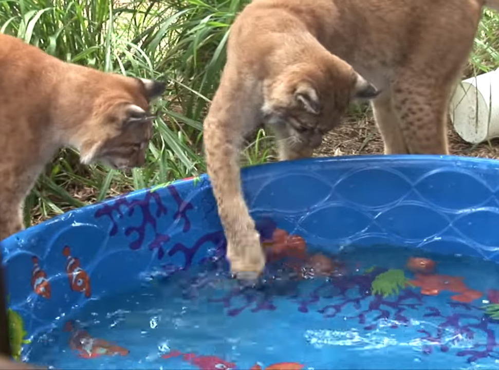 Caracals swipe at water in a kiddie pool.