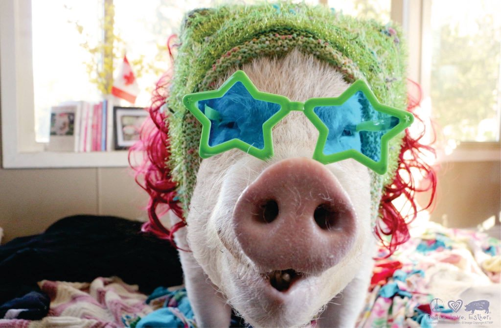 Esther the pig wears glasses, a bonnet, and a wig