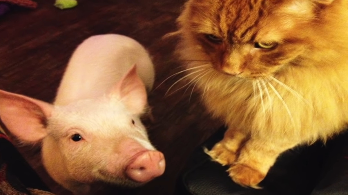 Esther the pig with one of Derek and Steve's cat.