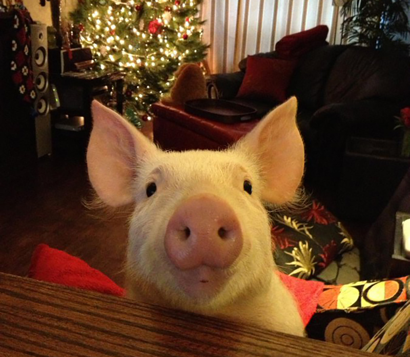 At one year old, Esther the pig sits in front of a Christmas tree.