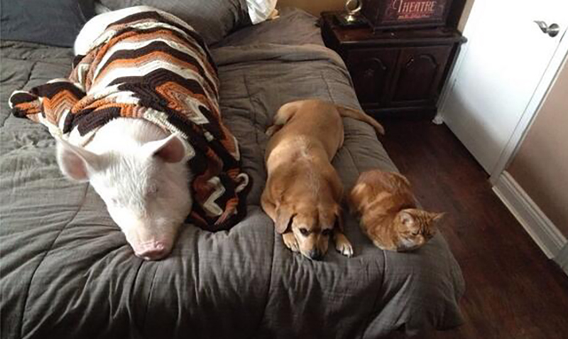 Esther the pig sits on the bed with a dog and a cat