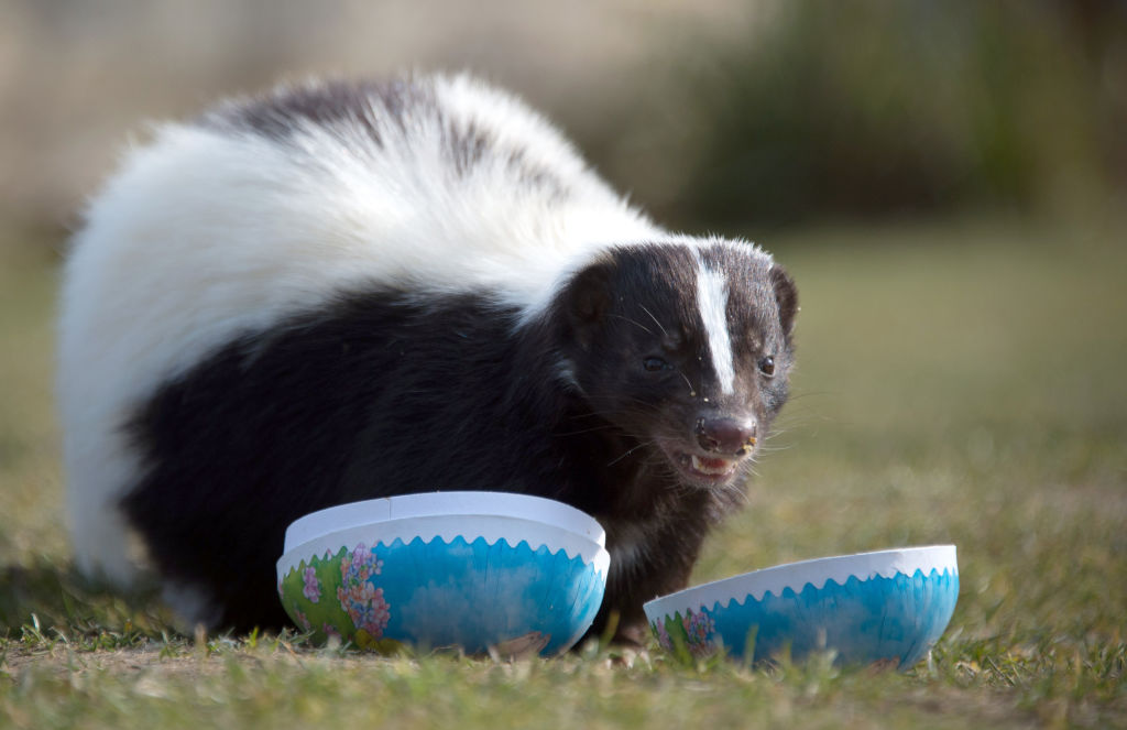 skunks arent as innocent as they look
