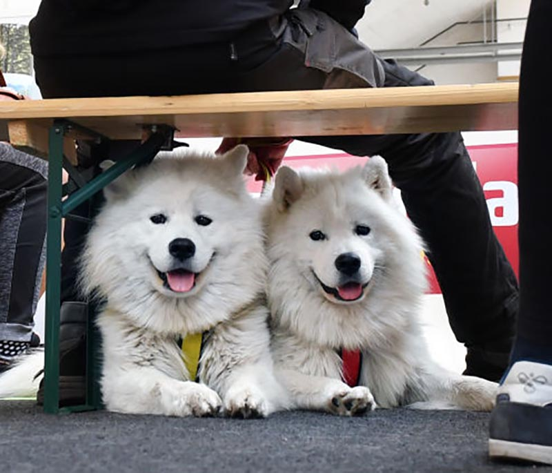 Two samoyeds sit below a bench wear there owner sits.