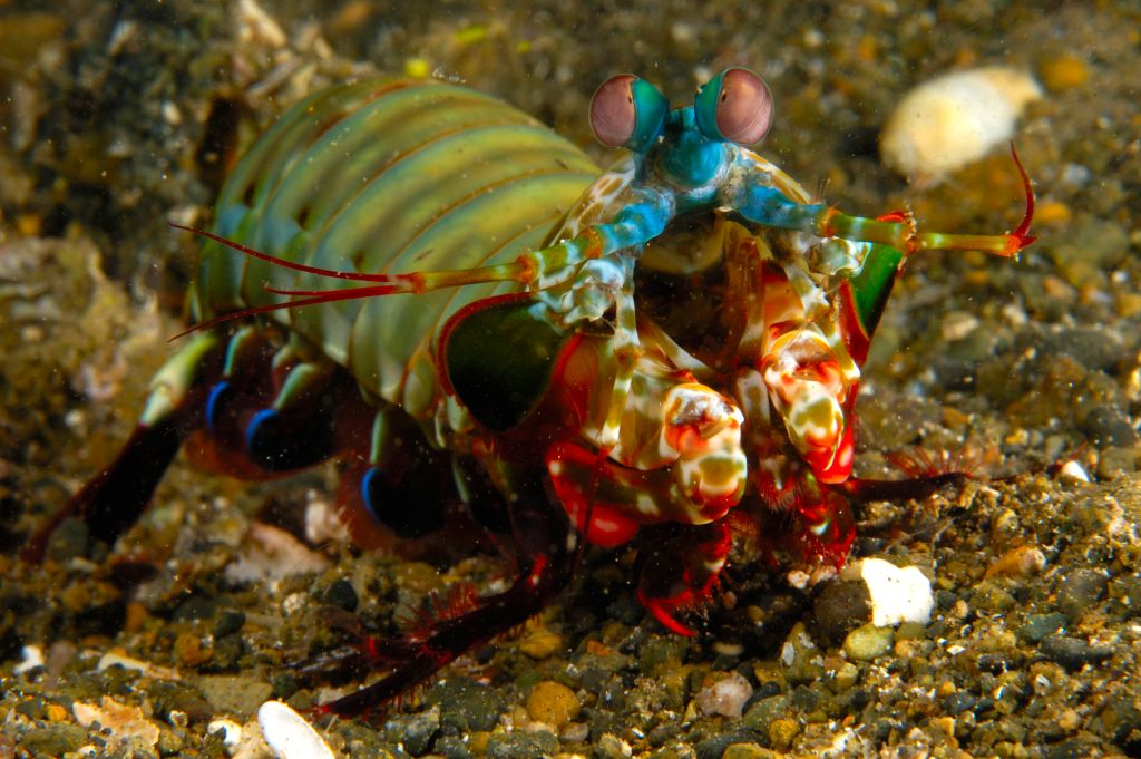 mantis shrimp arent as innocent as they look