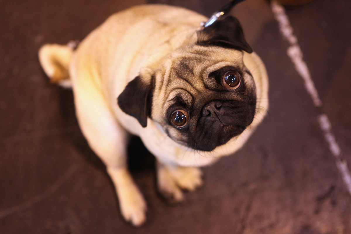 A pug dog stands and looks up in an exhibition hall