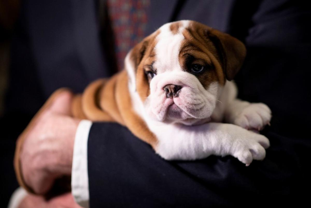 Six-week-old English Bulldog, Annie looks on at the American Kennel Club's Museum of the Dog