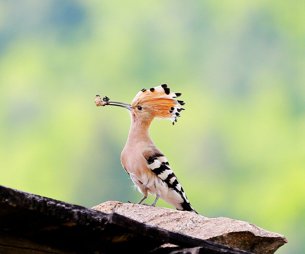 noble hoopoes arent as innocent as they look