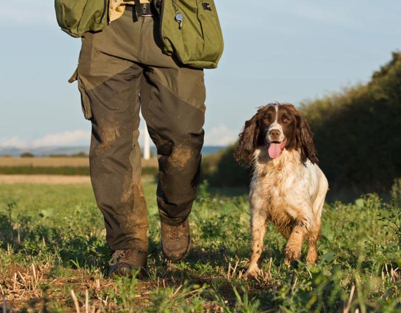 A Welsh springer spaniel trots alongside its owner.