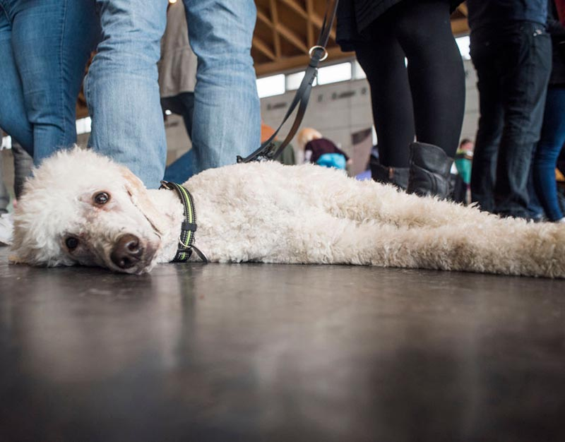 A poodle lays flat on the ground amongst peoples' feet.