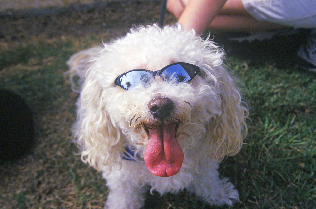 A Cockapoo wears sunglasses t the Doo Dah Parade in Pasadena, California.