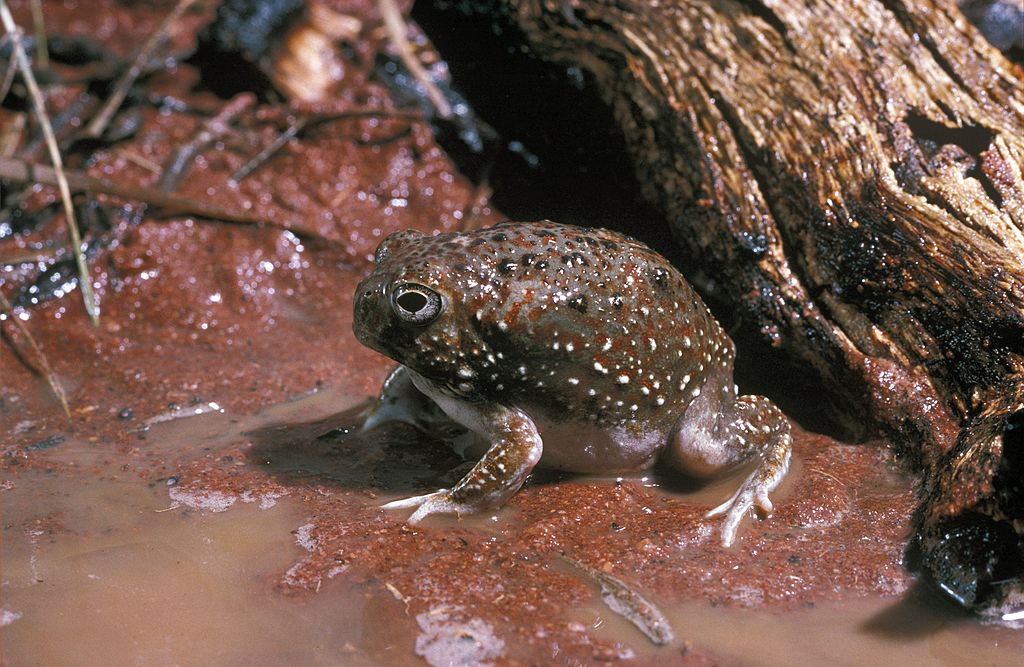 desert rain frogs arent as innocent as they look