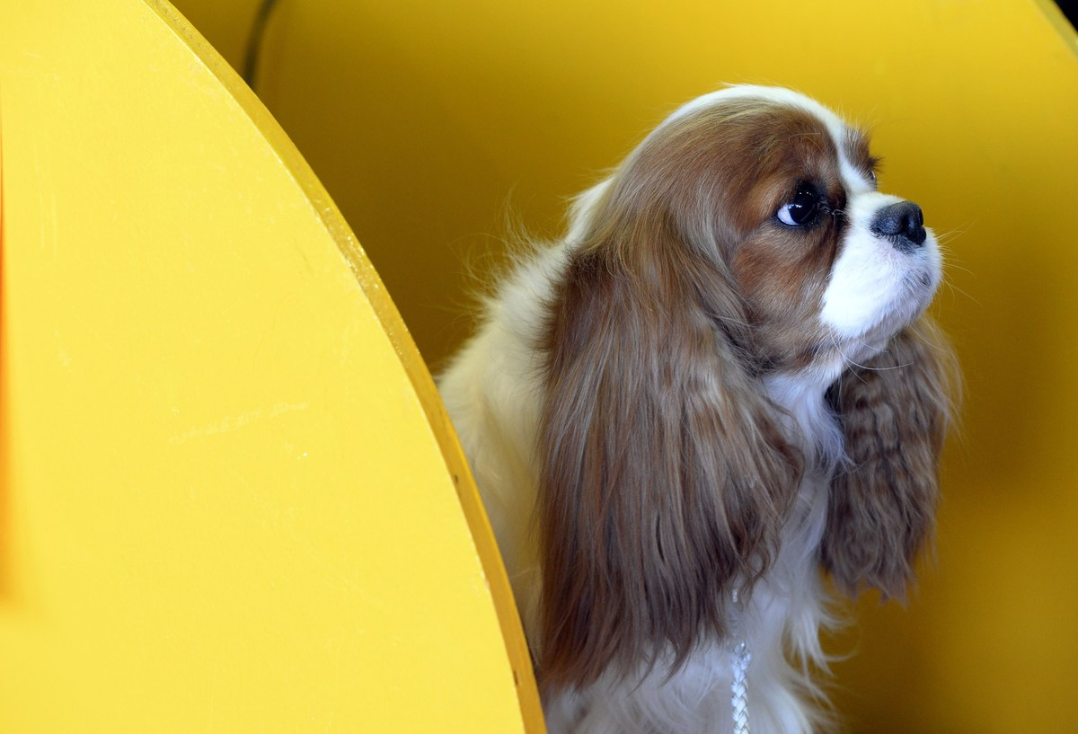 A Cavalier King Charles Spaniel sits in a yellow benching area.