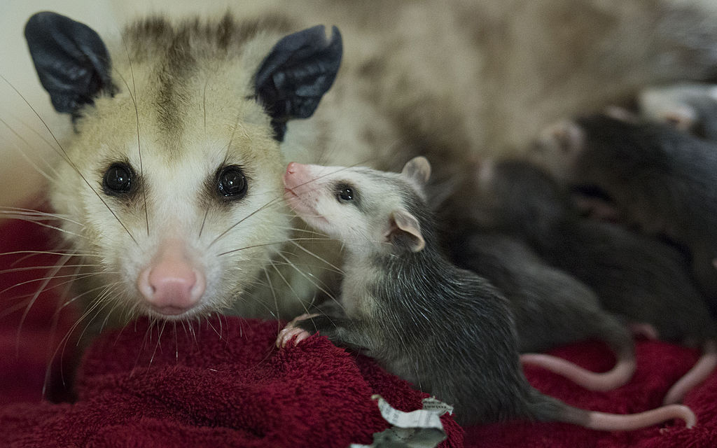opossums arent as innocent as they look