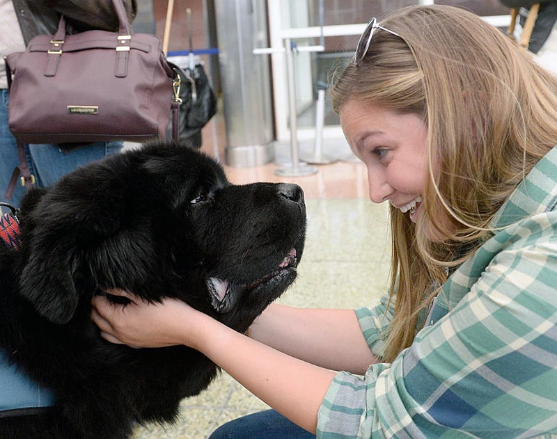 A woman makes eye contact with a newfoundland.