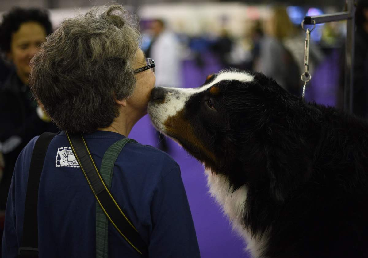 A Bernese Mountain Dog kisses a visitor as he is groomed
