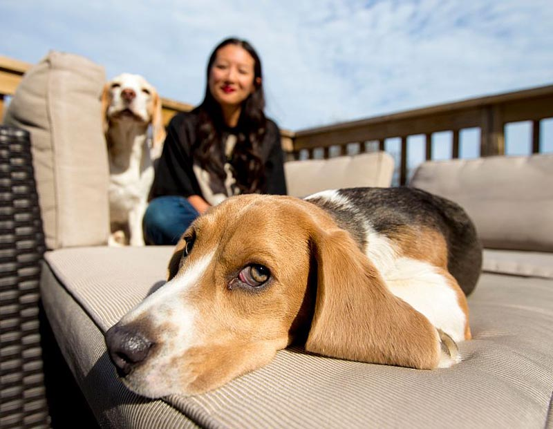 A beagle relaxes near its owner on outdoor furniture.