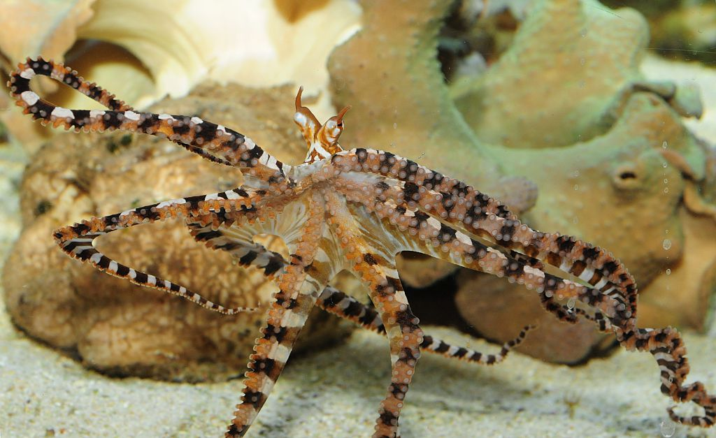 mimic octopi arent as innocent as they look