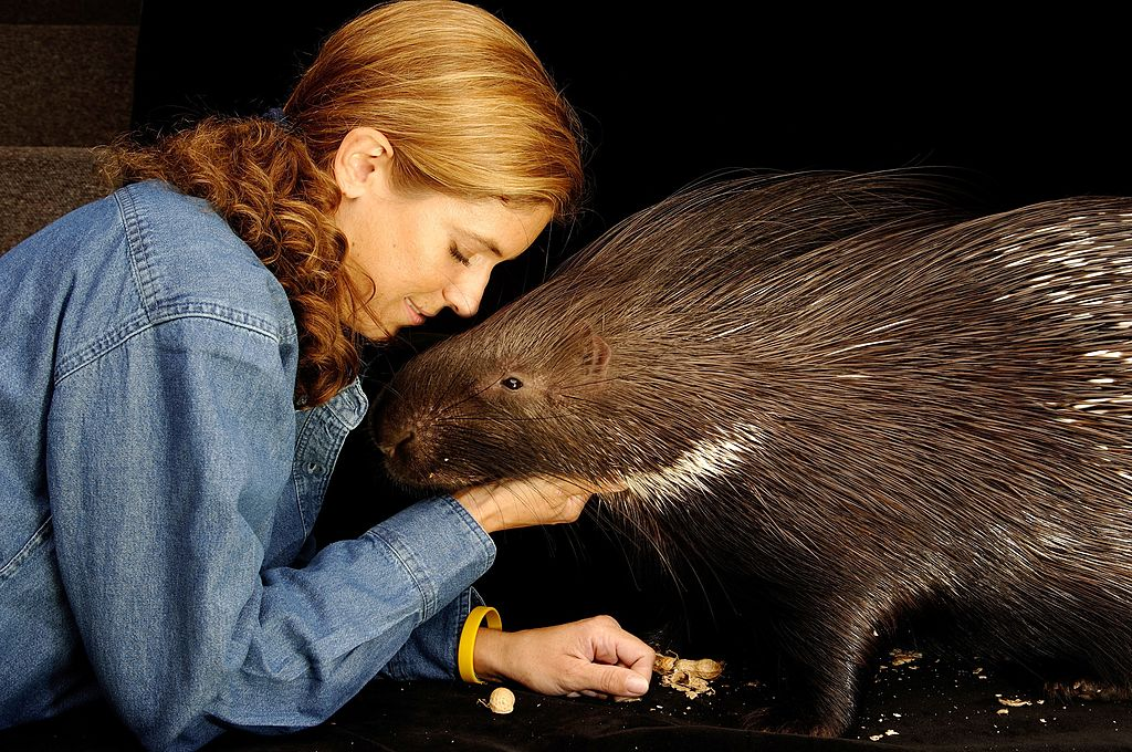 crested porcupines arent as innocent as they look