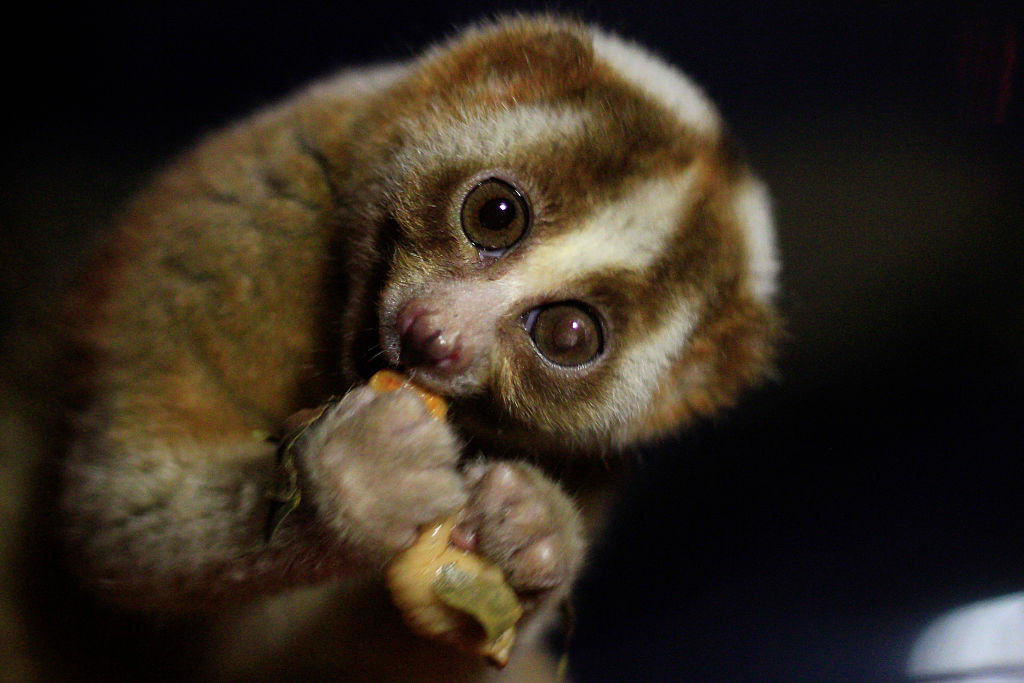 slow lorises arent as innocent as they look