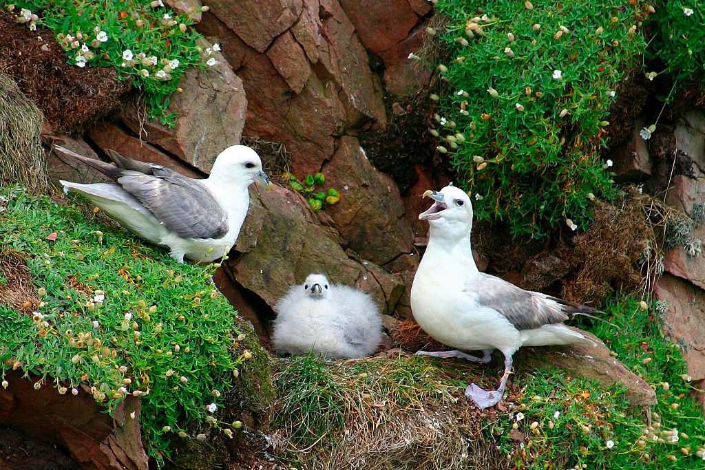 northern fulmar chicks arent as innocent as they look