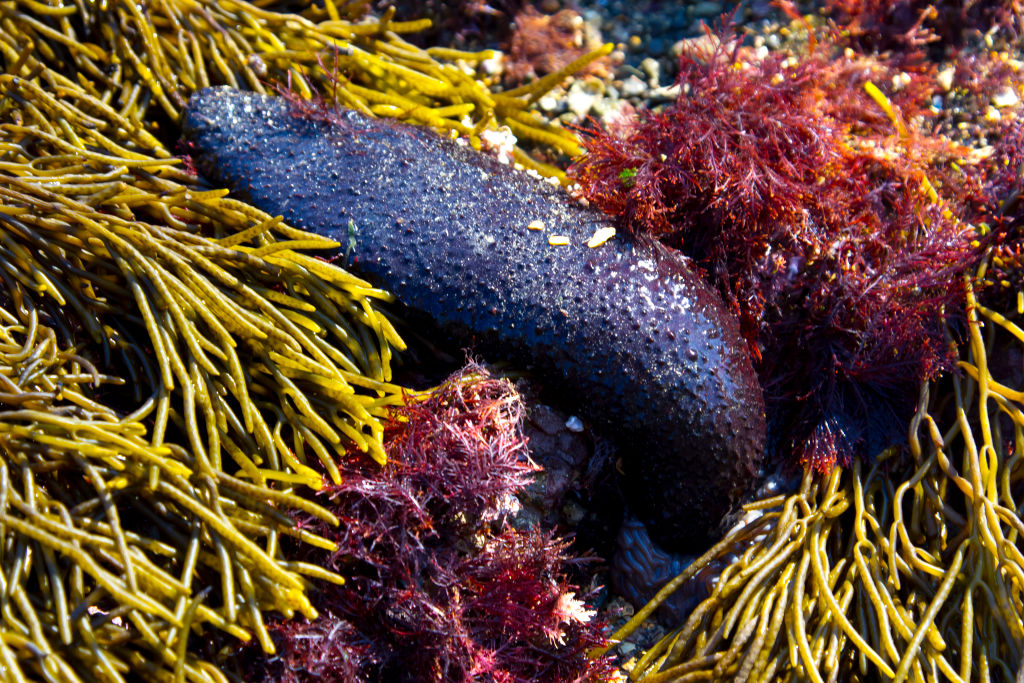 sea cucumbers arent as innocent as they look