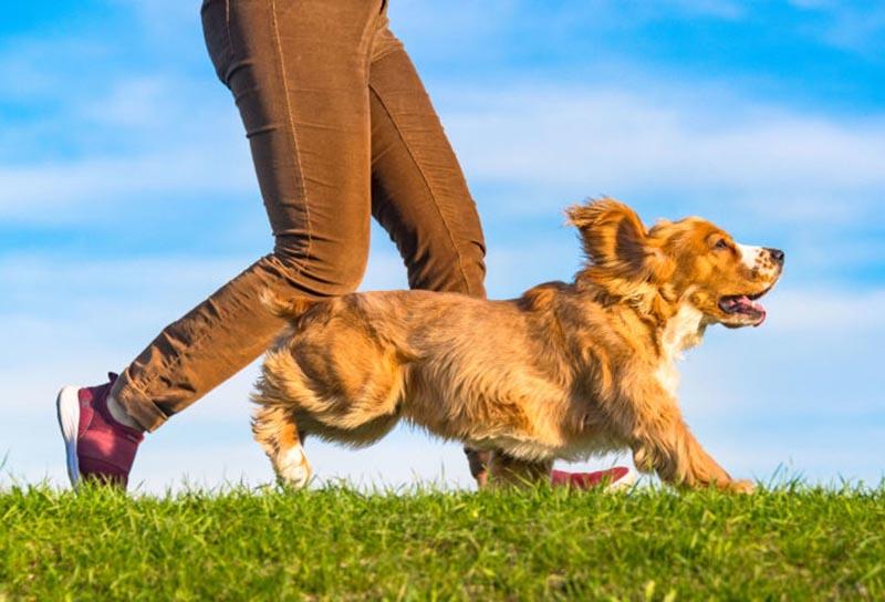 A cocker spaniel runs alongside its owner.