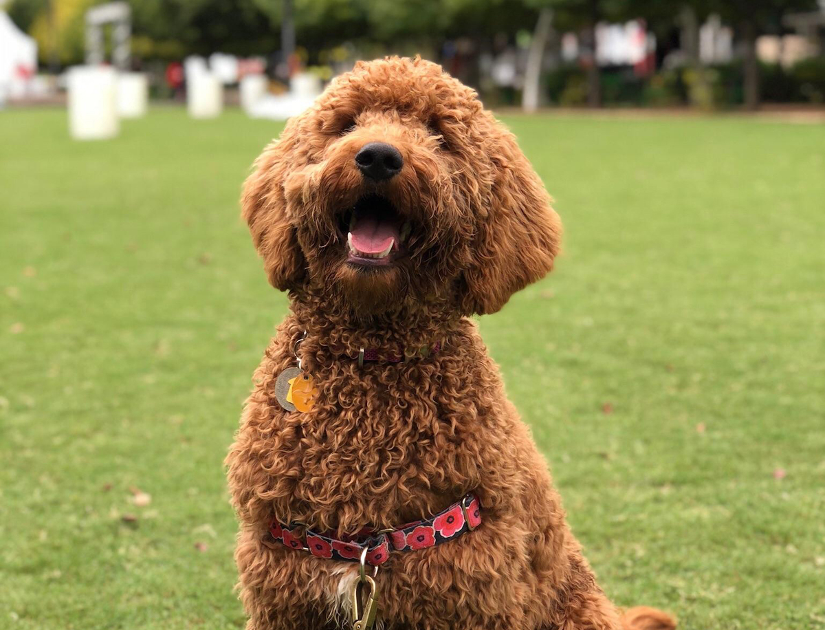 Eight-month-old Goldendoodle puppy sitting in a park